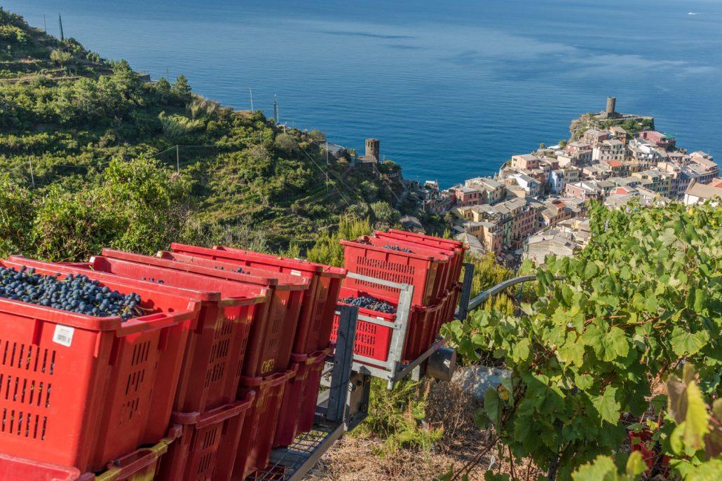 Weinlese in den Cinque Terre bei Vernazza