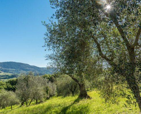 ein Olivenhain im Süden der Toskana in der Val d'Orcia