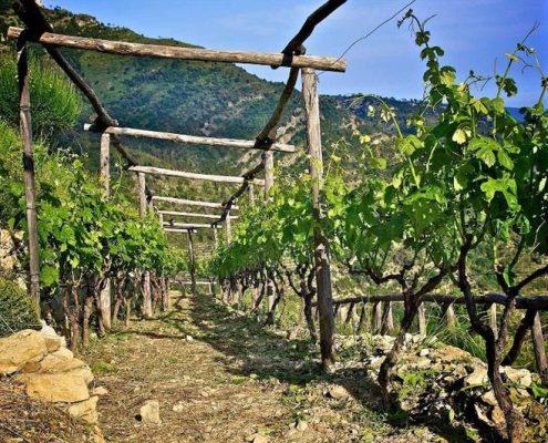 Pergolen im Weingut A Trincea in Westligurien