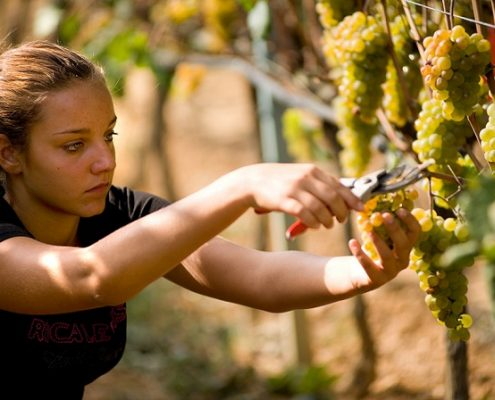 Weinlese im biologischen Weingut Bio Vio in Albenga