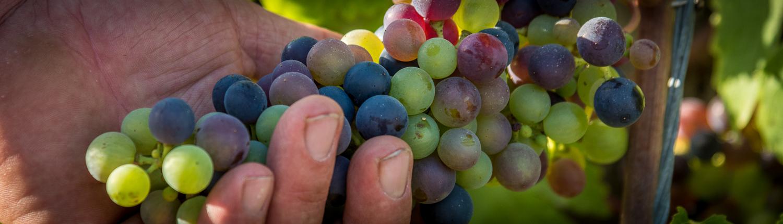 rote Trauben im Weinberg des Weinguts la Felce in der Lunigiana