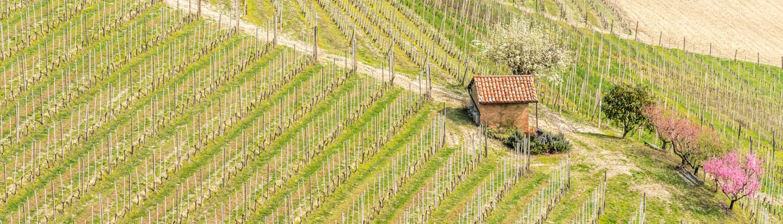 Weinberge im Piemont im Fruehjahr. Wanderreisen Barbaresco, Barolo und Alba