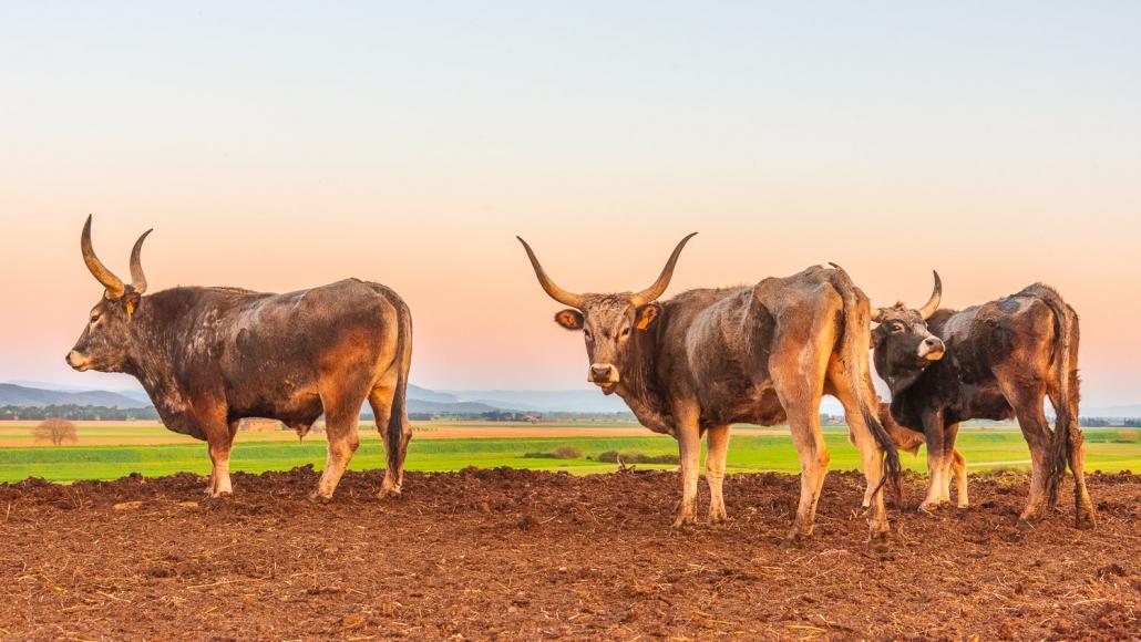 Maremmanische Rinder
