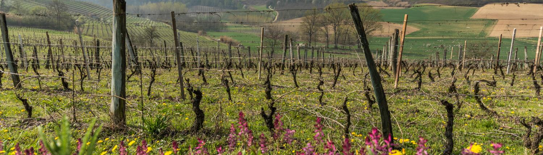 Weinberge im Piemont im Fruehjahr, Unesco Welterbe Langhe