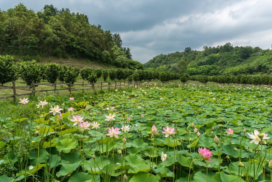 Lotusblüten auf einem Wanderweg im Piemont