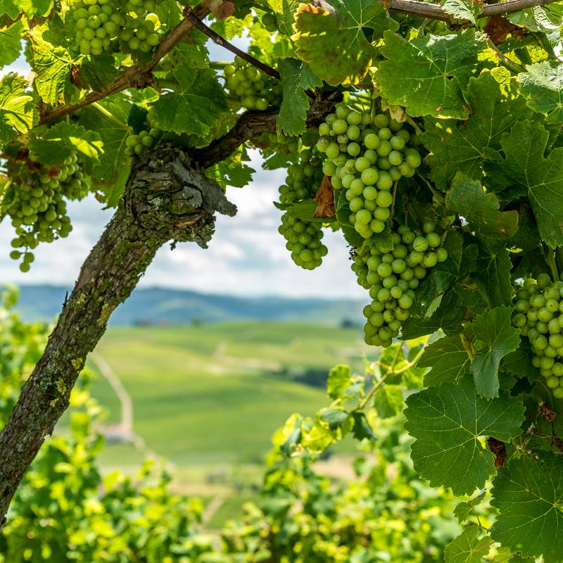 Weinreben im Piemont, wandern durch die Weinberge