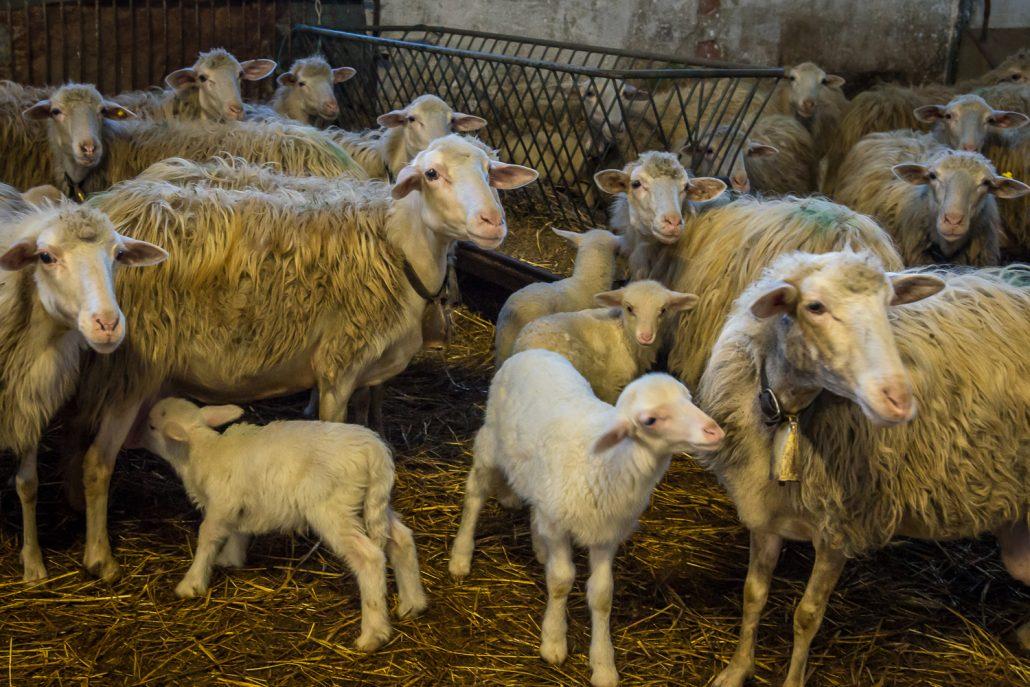 Schafzucht im Landgut Vergelle in der Toskana