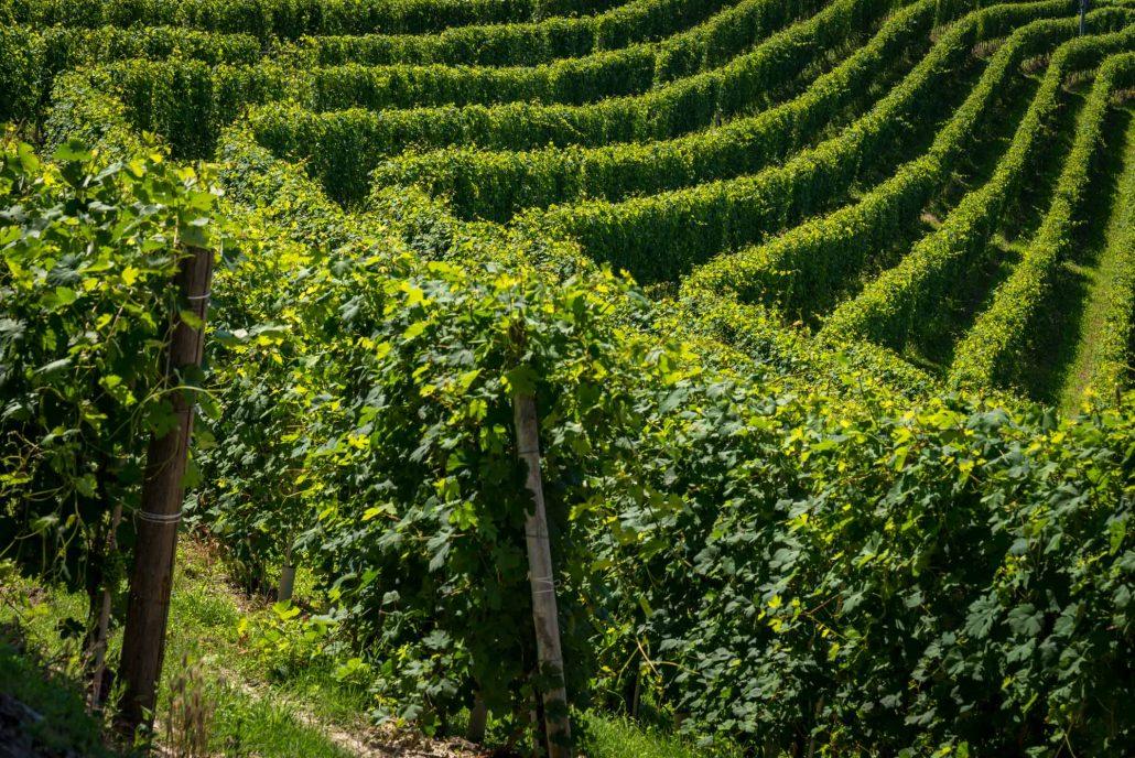 Wandern in den Weinbergen im Piemont bei Barolo