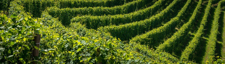 Wandern in den Langhe, Unesco Weltkulturerbe. Weinberge im Piemont