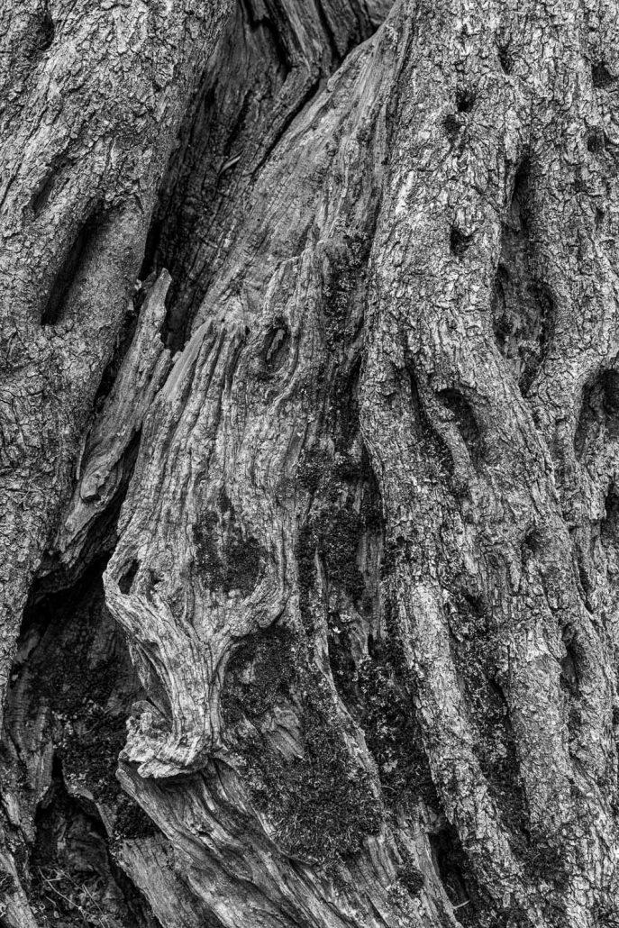 der alte Olivenbaum