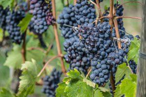 Sangiovese-Trauben in der Toskana