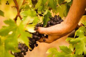 Ernte von Rossese-Weintrauben in Westligurien