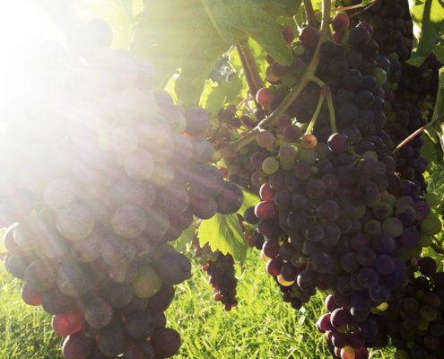 Weintrauben im biodynamischen Weingut am Gardasee, Villa Calicantus