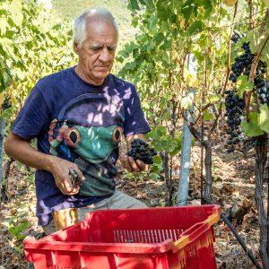 Bartolo Lercari von Cheo bei der Weinernte