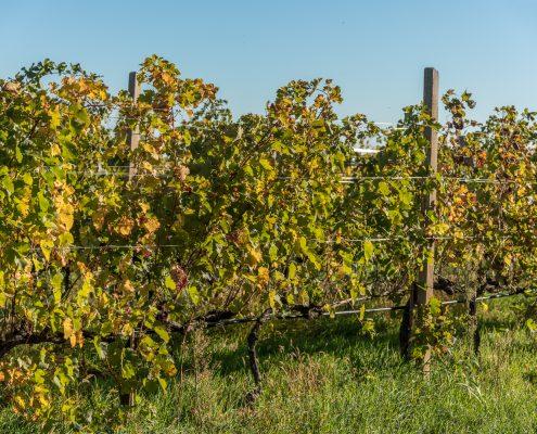 Venetien, Weinreise. Weinreben bei le Fraghe, biologisches Weingut bei Bardolino