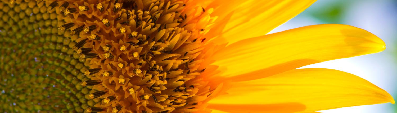 eine Sonnenblume in der Toskana, Wandern in der Natur