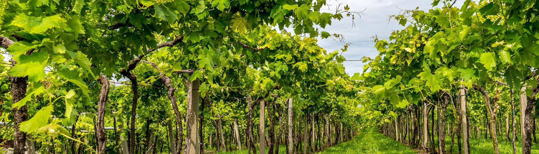 Wanderung durch die Weinberge im Veneto