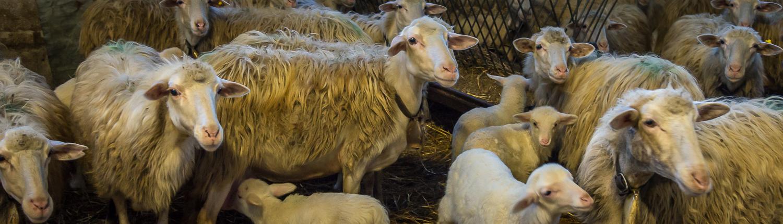 Schafe im Agriturismo Vergelle bei San Giovanni D'Asso in der Toskana