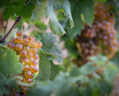 Bosco-Weintraube in den Cinque Terre