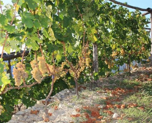 Weisse Rossese-Trauben im Weingut A Trincea in Westligurien