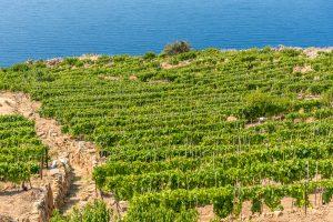 Weinberge der Insel Giglio