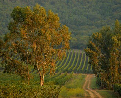 malerische Landschaft und Weinberge beim Landgut La Parrina in der Maremma