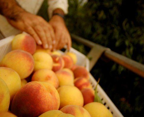 frisches Obst aus biologischem Anbau in La Parrina