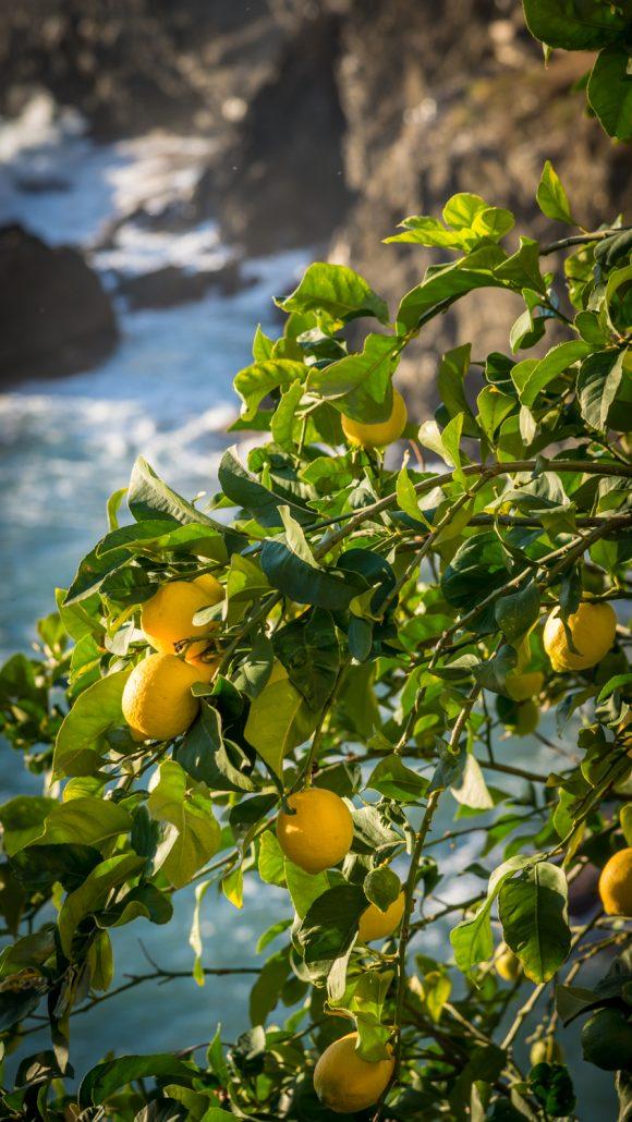 Zitronenbäume mit Meerblick