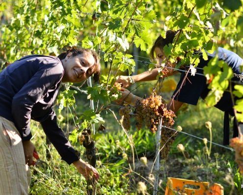 Weinlese in der Fabbrica di San Martino bei Lucca