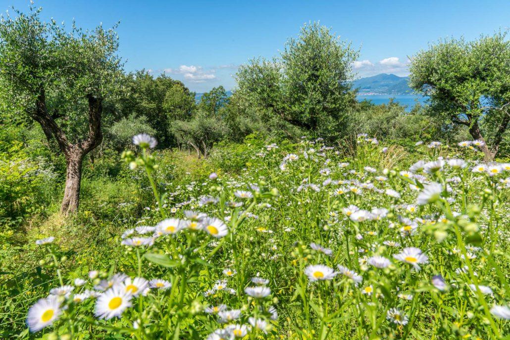 Wandern in Italien, ein Olivenhain am Gardasee