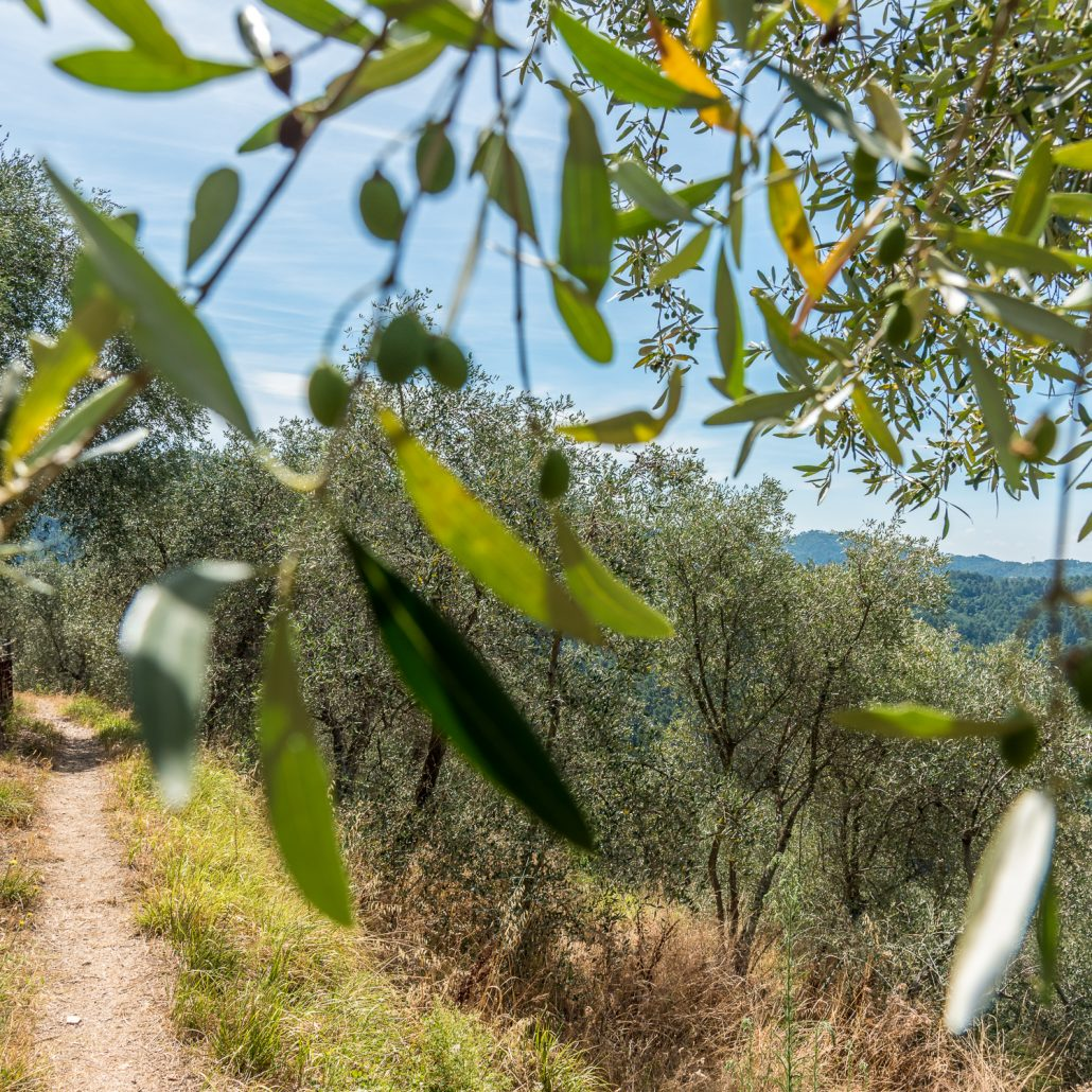 Olivenhaine in der Lunigiana