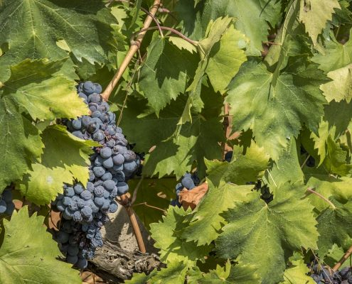 Weingut Arrighi auf Elba