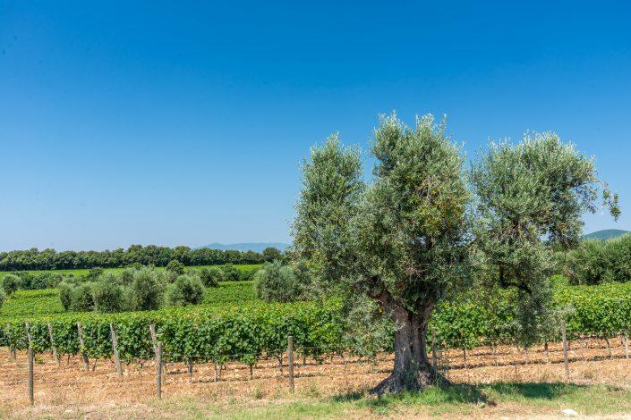 Olivenhain im Naturpark der Maremma