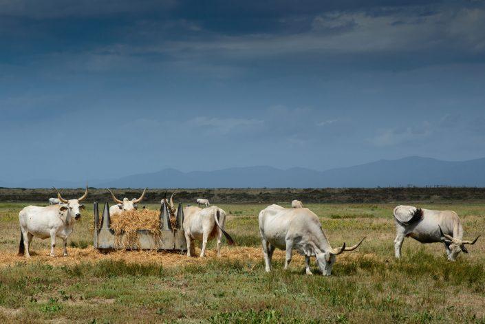 Eine Herde Maremmanischer Rinder im Naturpark