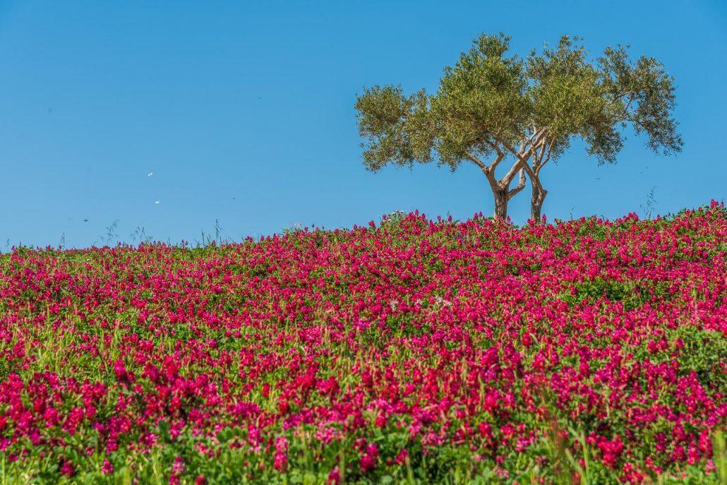 Oliven im Blütenmeer
