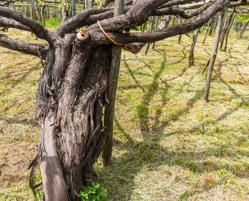 Reblausresistente Weinstöcke an der Amalfikueste, Weingut San Francesco