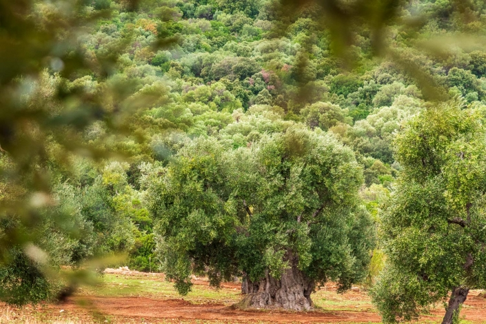 olivenhain bei ostuni