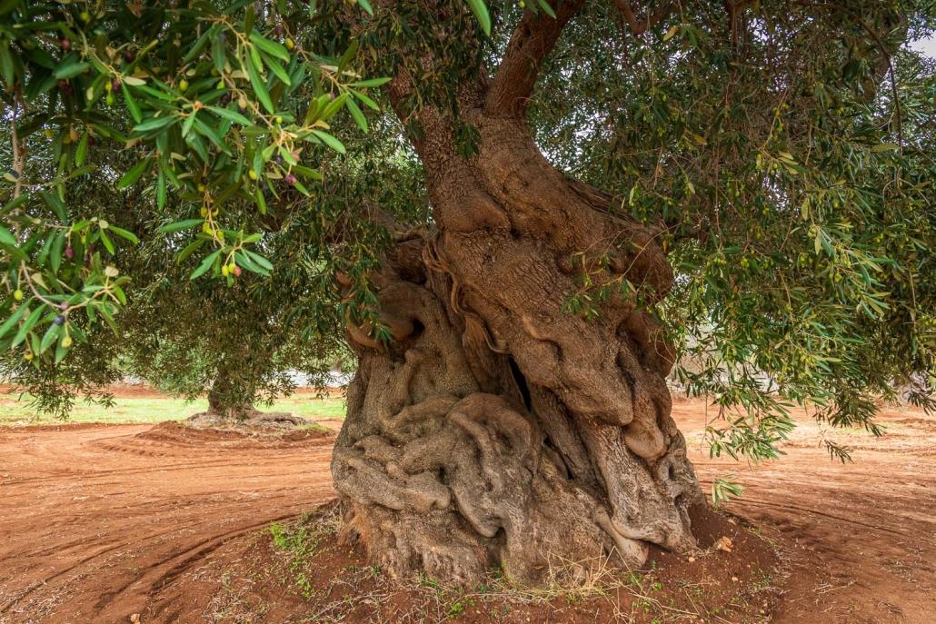 olivenbaum bei ostuni